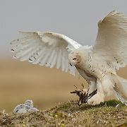 A female snowy owl (Bubo scandiacus) flying into the nest to feed chicks. Alaska