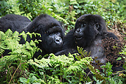 Two mountain gorillas (Gorilla beringei beringei) together with wet fur after the rain, Volcanoes National Park, Rwanda