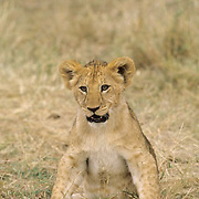 African Lion, (Panthera leo) Portrait of cub. Serengeti Plains. Masai Mara Game Reserve.Kenya. Africa.
