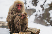 Snow monkeys (Macaca fuscata) grooming in a steaming hotspring , Jigokudani, Yamanouchi, Japan