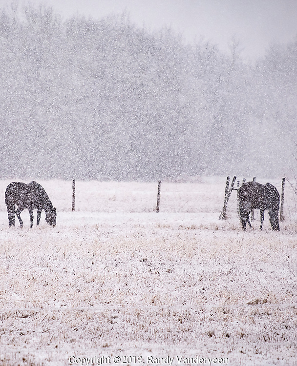 Photo Randy Vanderveen<br /> 2019-04-15<br /> Grande Prairie, Alberta<br /> A pair of horses graze in a pasture on the east side of Highway 2 at the Webster Corner apparently unconcerned about the snow falling on what is supposed to be a spring morning.