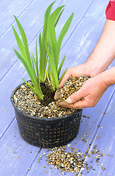 Dividing water iris grown in basket<br /> Dressing with gravel
