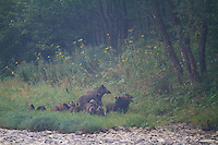 Family group of 20+ Wild boar (Sus scrofa) at the banks of the San River on a misty September morning. Krywe Nature Reserve, Bieszczady region, Poland.