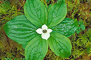 Detail of bunchberry dogwood (Cornus canadensis) in bloom, Quinault Rain Forest, Olympic National Park, Washington