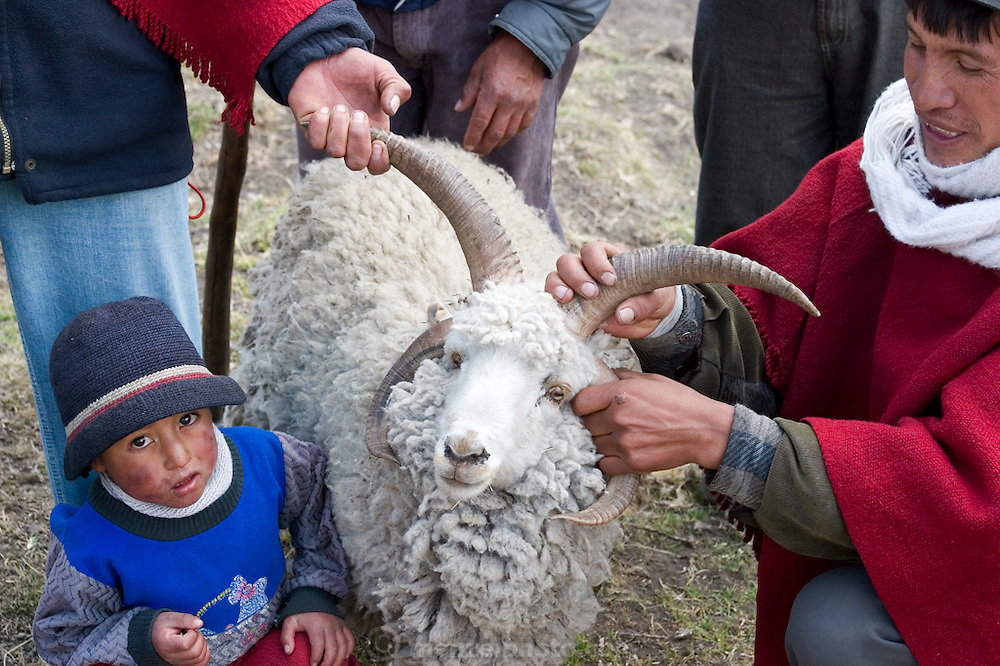 Orlando Ayme shows off one of his sheep which has 4 horns, which he thinks is hilarious. Orlando and his sons and a neighbor are returning from cultivating their potato field. (Supporting image from the project Hungry Planet: What the World Eats.)(MODEL RELEASED IMAGE)