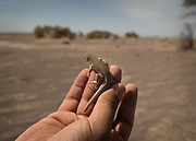 A lizard collected by the Herpetologist. Eremias acutorostris, commonly known as the Point-snouted Racerunner.