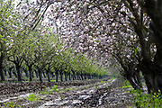 Almond blossoms (Prunus dulcis) Photographed in Israel in February This tree flowers before it produces leaves