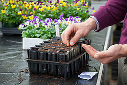 Sowing sweet peas into root trainers. Lathyrus odoratus