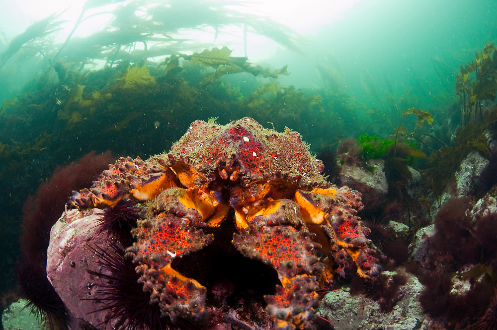 A  Puget Sound King Crab, Lopholithodes mandtii, rests among the kelp in Discovery Passage, Vancouver Island, British Columbia, Canada