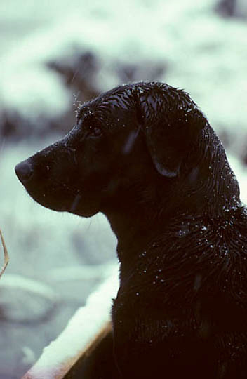 Waterfowling,Portrait of black lab in wet snow hunting for ducks.