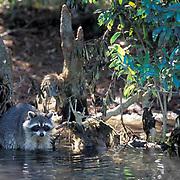 Raccoon, (Procyon lotor) Fishing in estuary. Florida.
