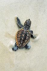 516 Florida Turtles 2