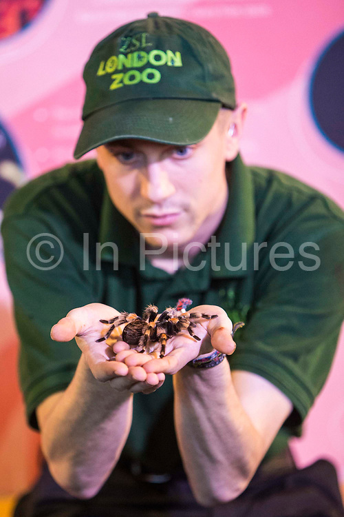 Zoo Keeper Jamie Mitchell shows off one of the 21 Mexican red knee bird eating spiders. The ZSL London Zoo Annual Stocktake 2015. Responsible for the care of more than 750 different species, keepers face the formidable task of noting every mammal, bird, reptile, fish and invertebrate at the Zoo.