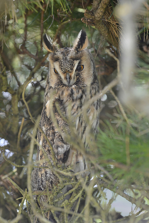 Long-eared Owl Asio otus L 32-35cm. Strictly nocturnal; sometimes caught in car headlights after dark or glimpsed at daytime winter roost. In flight, told from Short-eared by orange-buff patch that contrasts with otherwise dark upperwing. When alarmed, sometimes adopts upright posture with 'ear' tufts raised. Sexes are similar. Adult and juvenile have streaked dark brown upperparts and paler underparts. Orange-buff facial disc is rounded; note orange eyes and long 'ear' tufts. Voice Deep hoots sometimes uttered in spring. Status Nests in isolated conifer plantations and scrub thickets, with adjacent open country. Disperses outside breeding season and winter roost sites include coastal and wetland scrub, and hedgerows. Influx of European birds boosts winter numbers.