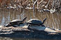 Northwestern Pond Turtles, Actinemys marmorata, bask on a log in Sacramento National Wildlife Refuge, California