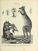 Didelphis is a genus of New World marsupials 1. Virginian Opossum, 2, Kangaroo 3. 4. 5. The Sucking Foetus [Fetus] Copperplate engraving From the Encyclopaedia Londinensis or, Universal dictionary of arts, sciences, and literature; Volume V;  Edited by Wilkes, John. Published in London in 1810