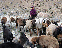 En gjeterjente fra kuchi-folket med sauene sine, a girl from the Kuchi tribe herding her sheeps