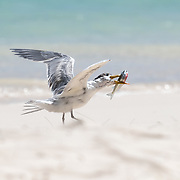 This is a greater crested tern (Thalasseus bergii) wrangling a sardine. Being a small bird, the tern had difficulty controlling the struggling fish. The bird flew the sardine to the sand in order to subdue it.