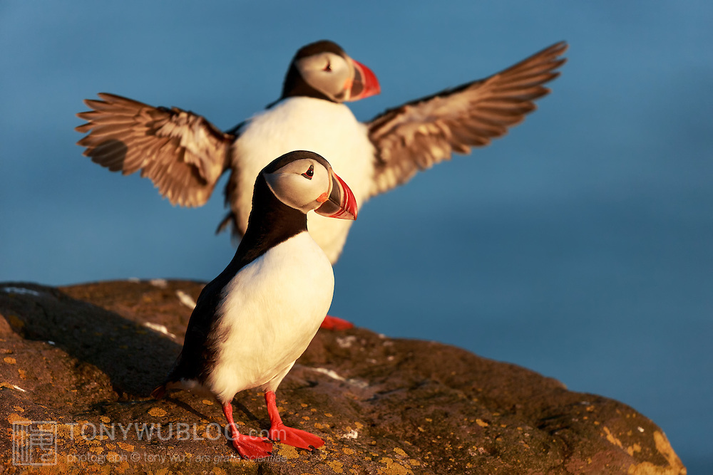 A pair of Atlantic puffins (Fratercula arctica) in warm sunlight prior to sunset in the Arctic summer. The puffin in the rear is stretching and flapping its wings.