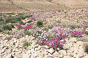 Pink Sun-Rose (helianthemum vesicarium) colorful flowering at spring time in the Negev desert , Israel