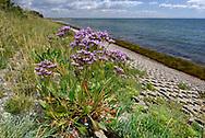 Common Sea-lavender - Limonium vulgare