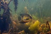 Green Severum (Heros severus) in Aquatic Vegetation<br /> Permanant Freshwater Pond<br /> Savannah<br /> Rupununi<br /> GUYANA<br /> South America<br /> RANGE: Amazon Basin and Guianas<br /> Common aquarium fish in pet trade