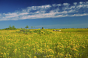 Field of  common Saint John's wort<br /> Manitoulin Island<br /> Ontario<br /> Canada