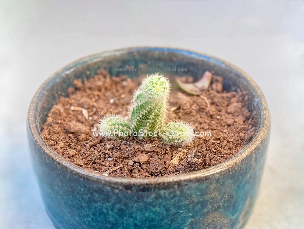 Potted Peanut cactus (Echinopsis chamaecereus Synonyms include Chamaecereus silvestrii and Lobivia silvestrii.)