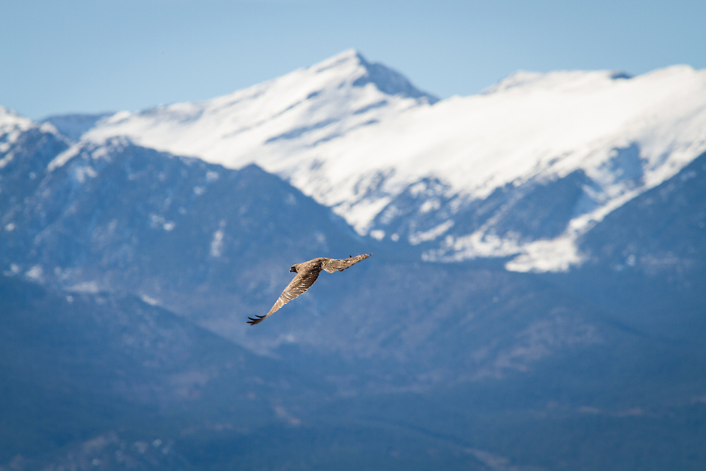 Golden eagle takes flight in the Wet Mountain Valley.