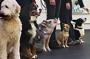 This little piggy goes to class at the Family Dog Training Center in Kent twice a week.<br /> Alan Berner / The Seattle Times