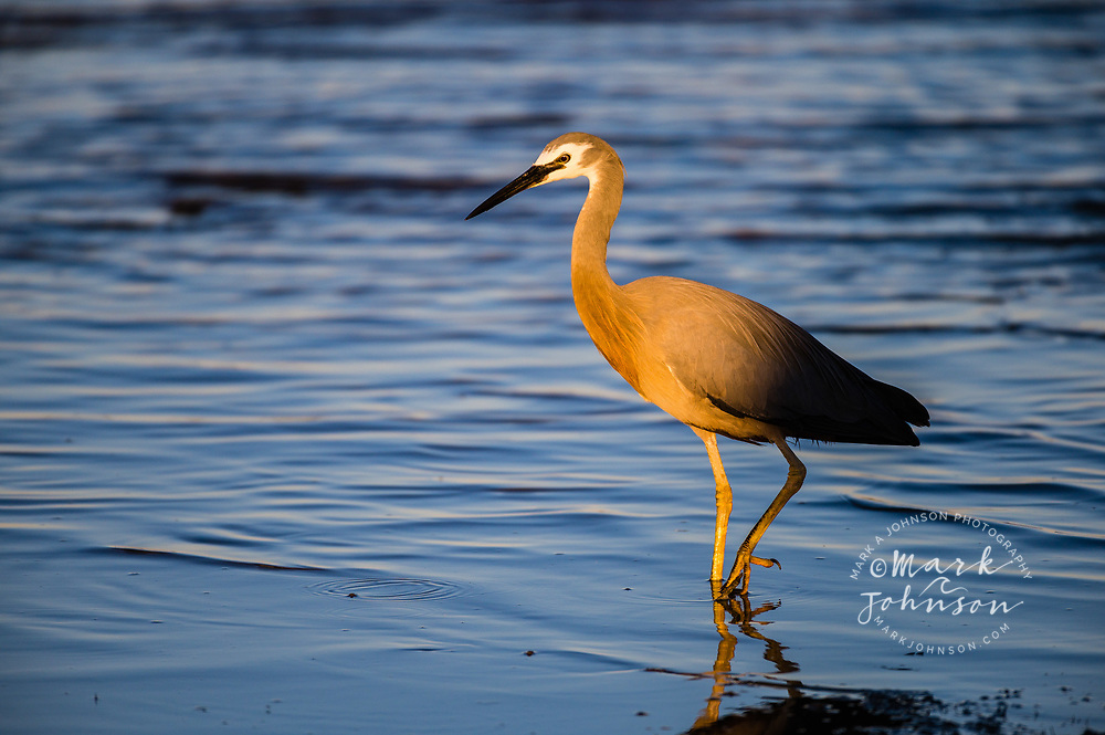 White-faced Heron (Egretta novaehollandiae), Golden Beach, Caloundra, Sunshine Coast, Queensland, Australia