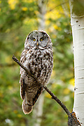 Witnessing a Great Grey Owl close-up was one of the highlights of our time in Grand Tetons.