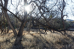 Sun through trees and backlit grasses along Seco Creek, Ladder Ranch, west of Truth or Consequences, New Mexico, USA.
