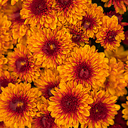 Mums grow in the test garden at South Central Growers facility in Springfield, Tennessee. The company produces over one million mums and distributes them in seven states. Nathan Lambrecht/Journal Communications