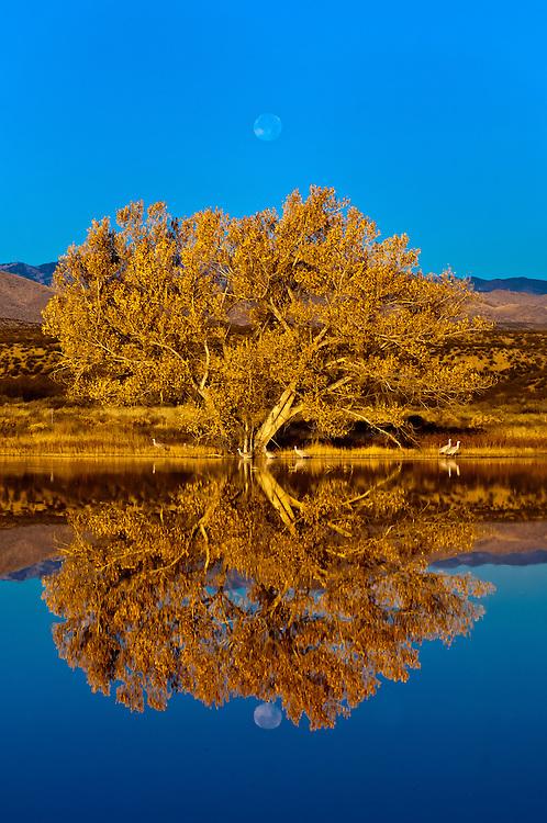 Sandhill Cranes, Bosque del Apache National Wildlife Refuge, near Socorro, New Mexico USA