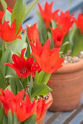 Tulipa praestans 'Fusilier' AGM in a terracotta pot