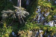 Licorice Ferns (Polypodium glycyrrhiza) growing out of the rocks on the hillside near the Katzie Marsh in the Pitt-Addington Wildlife Management Area - Pitt Meadows, British Columbia, Canada