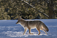 A coyote walks along the West Entrance Road in Yellowstone National Park, Wyoming.