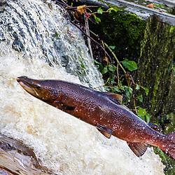 Salmon leap in the River Carron 30/10/2020