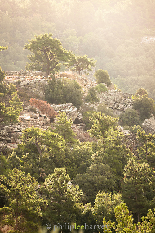 Aerial view of treetops of pine forest in sunset light, Ikaria, Greece