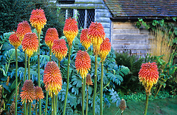 Kniphofia rooperi with Melianthus major in the background in the barn garden at Great Dixter. Design: Christopher Lloyd