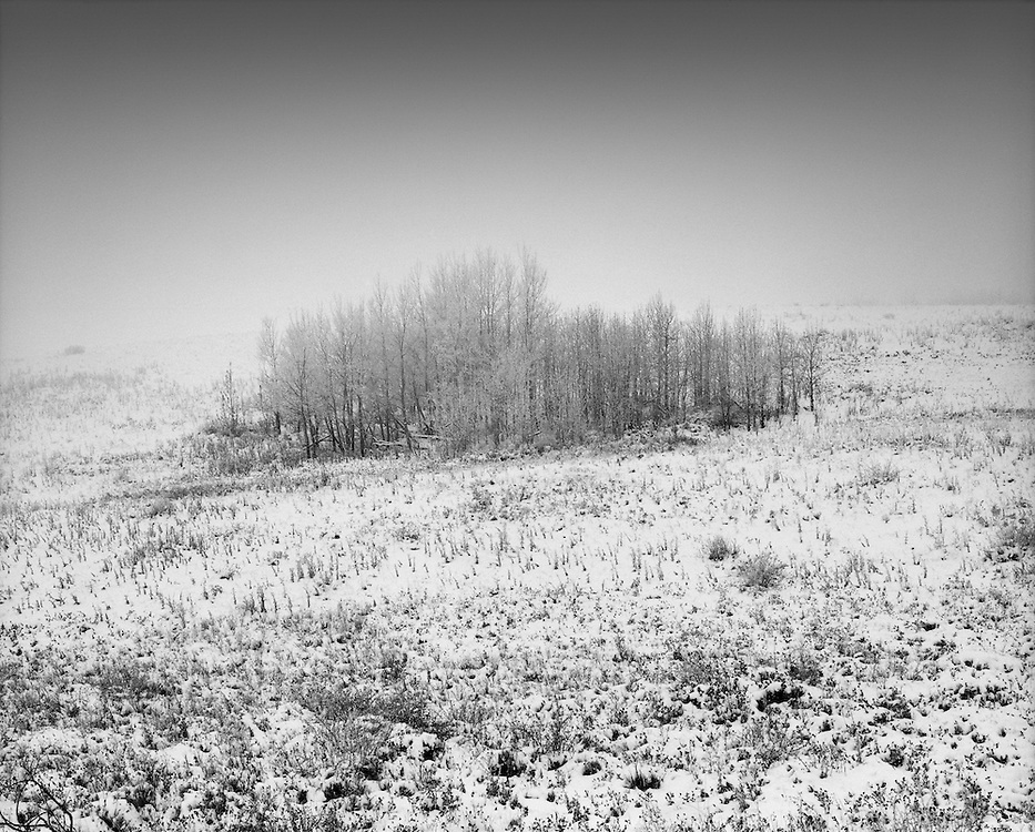 A bunch of hoar frost covered trees on a hillside near Cochrane