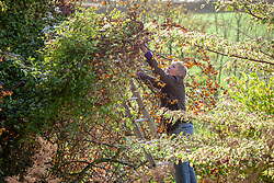 Carol Klein up a ladder pulling clematis out of a crab apple tree