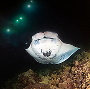 Scuba diving with Giant Manta Ray in Hawaii, Big Island