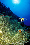 magnificent sea anemone, Heteractis magnifica, with anemonefish and moorish idol, New Drop-Off, Palau ( Belau ), Micronesia, ( Western Pacific Ocean )