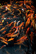 Koi fish, feeding at surface of water, orange colours, colourful, swirling