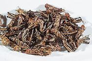 A sample of 2nd instar Australian Plague Locusts collected from farms and public land around the Mildura Incident Control Centre in Northern Victoria, Australia.   The Victorian government has pledged $43.5million in support to help combat what could be the worst locust plague in over 75 years in South Eastern Australia with potential imapcts on agriculture of over $2 billion.