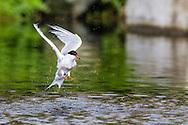 A Common Tern (Stirna hirundo) bathes by splashing in a pond on Seal Island, Maine.