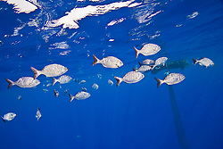 Brown chub or grey sea chub, Kyphosus bigibbus, aggregating around abandoned fishing net, off Kona Coast, Big Island, Hawaii, Pacific Ocean