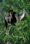 Male Anhinga, Anhinga anhina, preening and drying wings, Shark Valley, Everglades National Park, Florida.